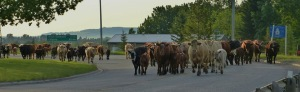 Cattle Drive, cows