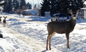 Strutting-deer -2